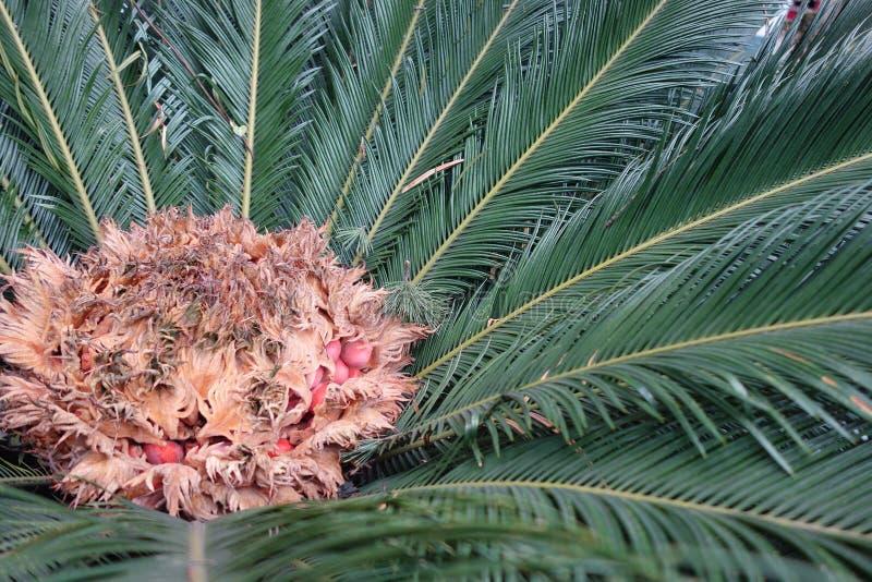 Cycadaceae immagine stock libera da diritti