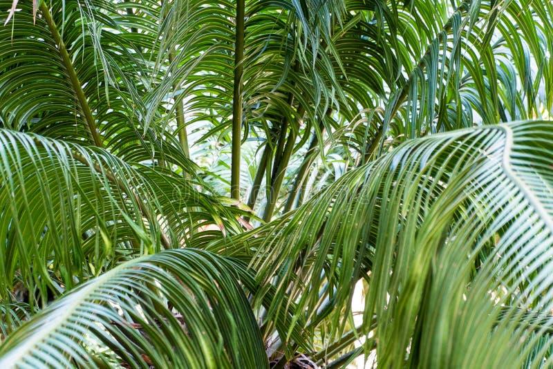 Cycadaceae Circinalis in giardino botanico di Cagliari, Sardegna, Ital fotografia stock libera da diritti