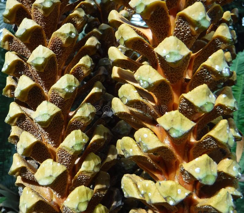 Download Cycadkegel stockfoto. Bild von nachricht, seeds, gesperrt - 106800962
