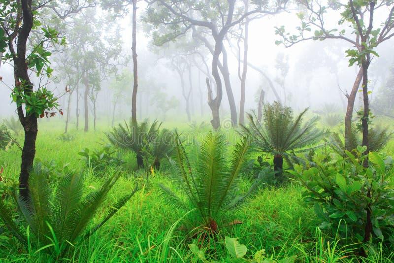 Cycadpalmträd i skogen med misten royaltyfri bild