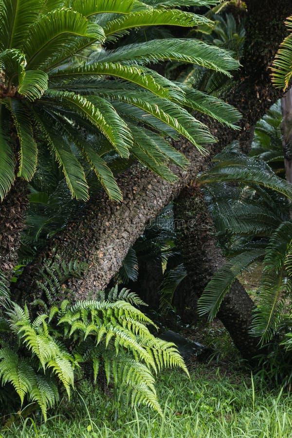 Cycads che crescono nella foresta pluviale immagine stock