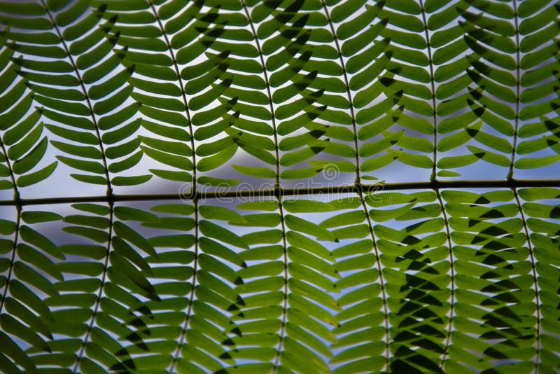 Cycads: seed plants with a very long fossil history. Cycads: seed plants with a very long fossil history that were formerly more abundant and more diverse than royalty free stock images