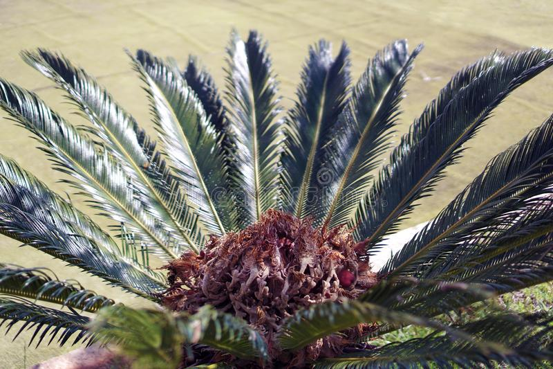 Cycadsago, Cycas-revoluta in de lente stock foto