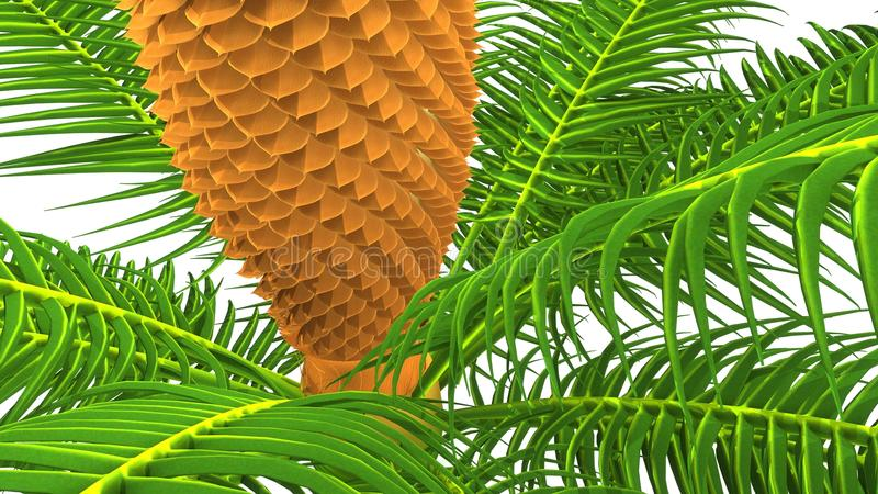 Cycas male plant royalty free stock photo