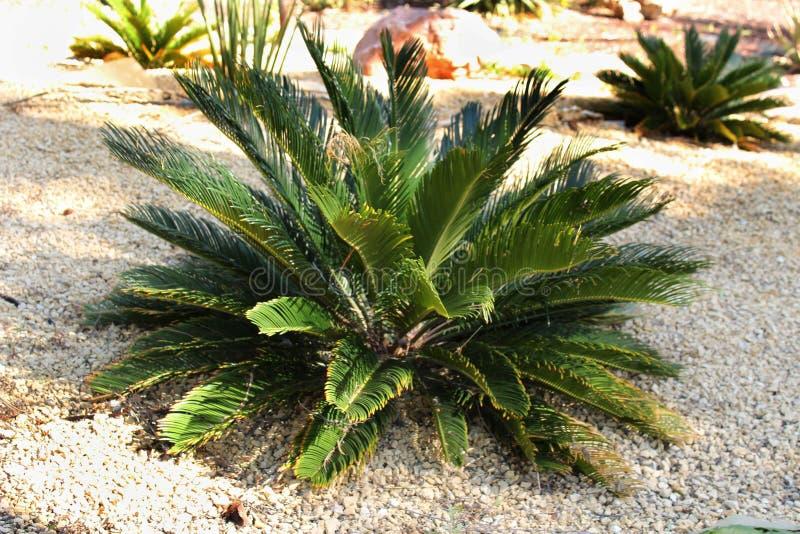 Cycas Revoluta-Anlage im Garten stockfotografie