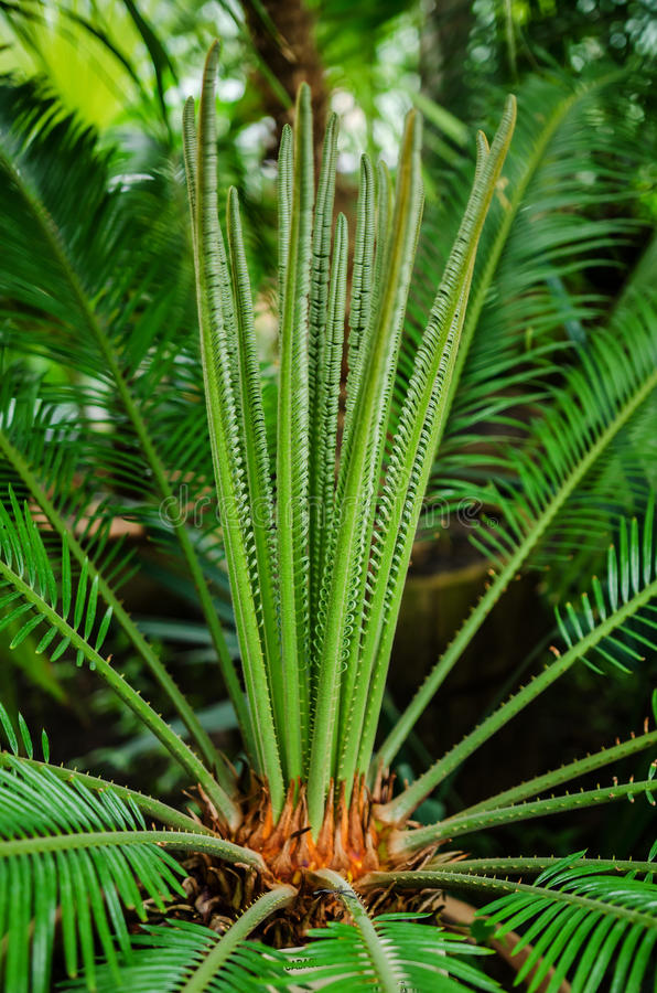 Cycas revoluta- imitaci sago palma fotografia stock