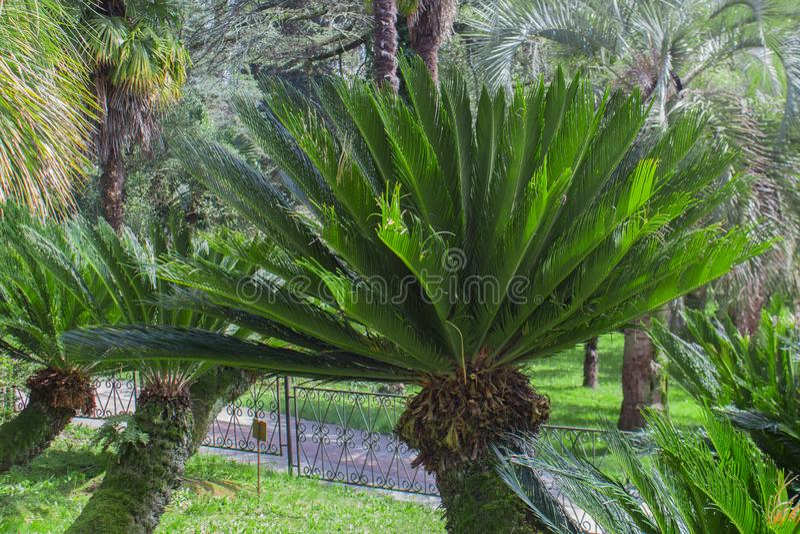Cycas Revoluta roślina w Sochi Dendrarium w wiośnie fotografia stock