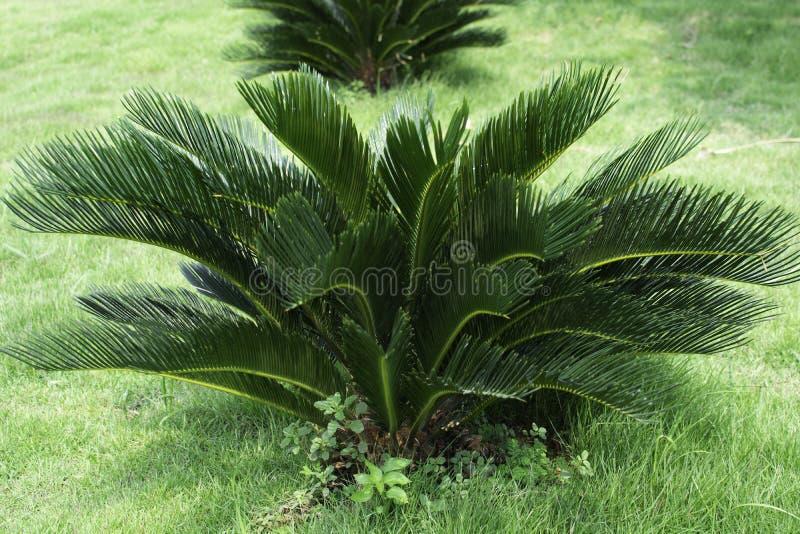 Cycas Revoluta som planteras i en gr?str?dg?rd royaltyfri bild