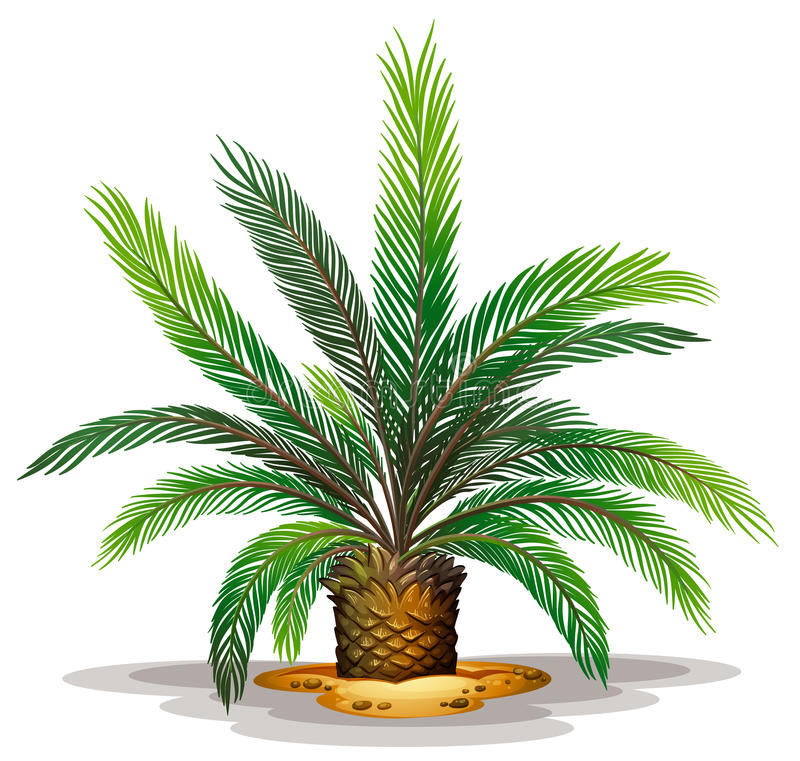 cycas revolute stock illustration illustration of palm tree clip art palm tree clip art transparent
