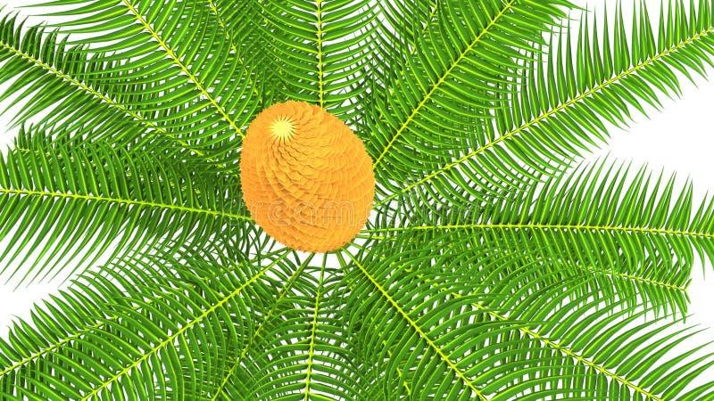 Cycas samiec rożek zdjęcie royalty free