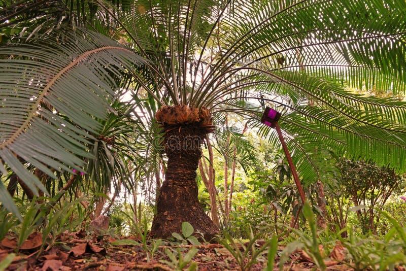 Cycasbaum oder Cycaspalme eine schöne Anlage im Naturwald lizenzfreie stockfotografie