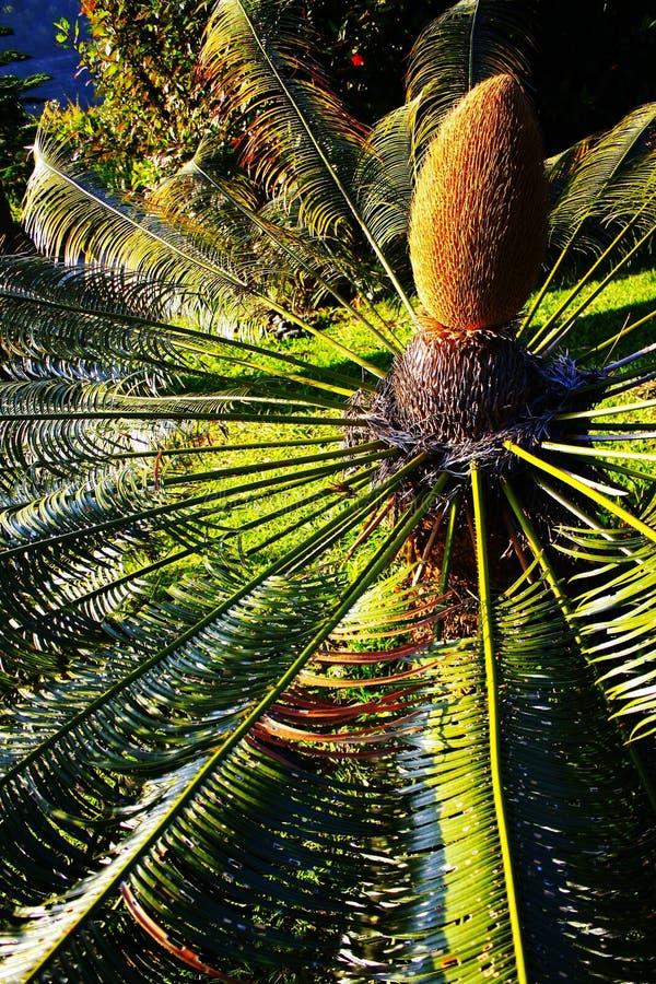 Cycasrevoluta (sagocycaden) - botanisk trädgård Funchal arkivfoto