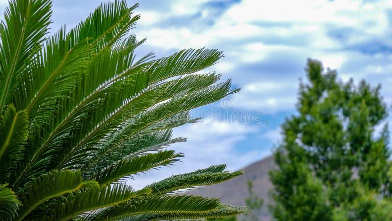 Cycasrevolutaen, sago gömma i handflatan, på suddighetsbakgrund för blå himmel royaltyfri fotografi