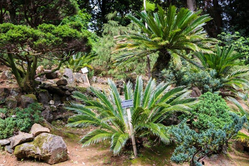 Cycasrevolutasagot gömma i handflatan, gör till kung sagot, sagocycad, den japanska sagot gömma i handflatan i botanisk trädgård royaltyfria bilder