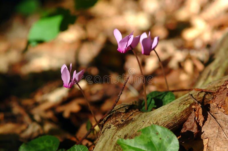 Download Cyclamen imagen de archivo. Imagen de pétalos, florecimiento - 1277445