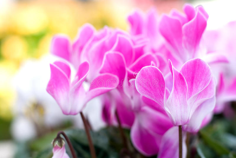 Cyclamen. Full blooming winter flower of Cyclamen royalty free stock image