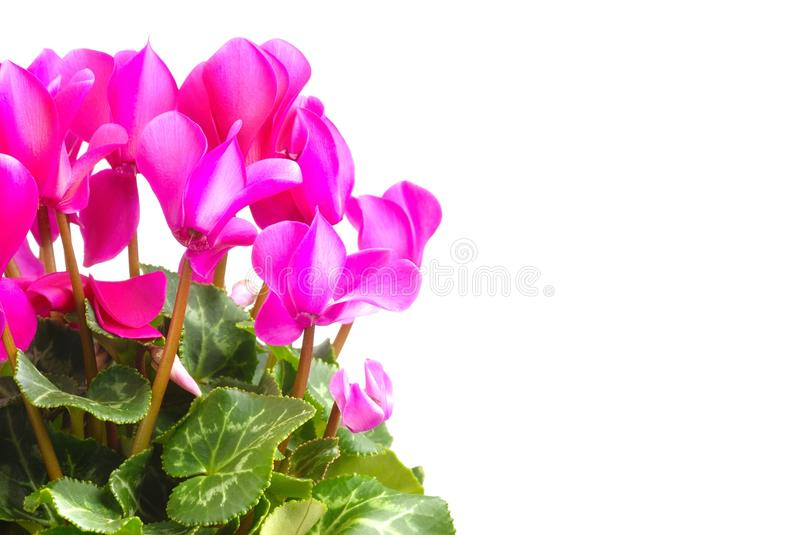 Download Cyclamen stock image. Image of pink, white, isolated - 26545485
