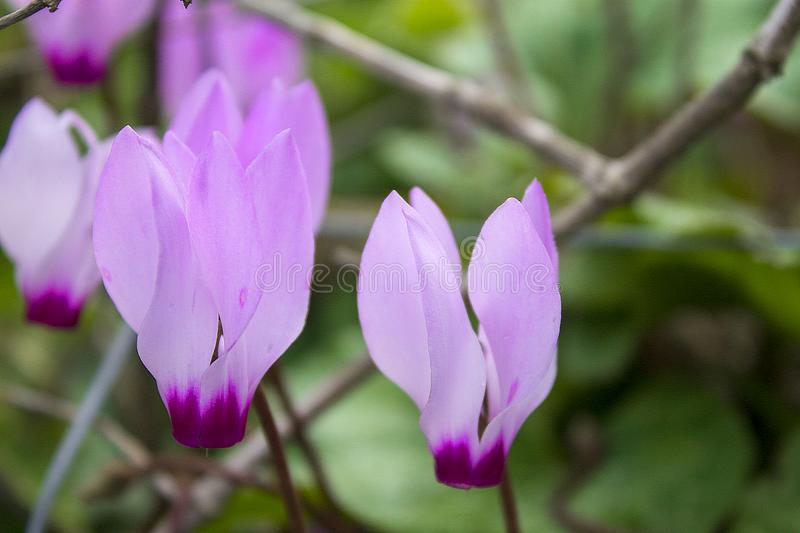 The cyclamen blooming in israel. The beautiful cyclamen blooming in israel stock photography