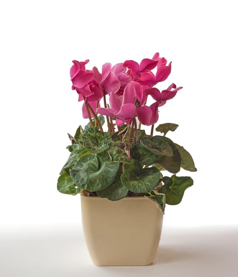Cyclamen cor-de-rosa em um potenciômetro de flor fotos de stock royalty free