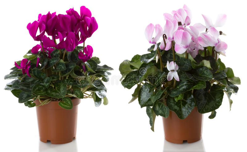 Cyclamen flower. Potted flowers cyclamen flower, isolated on white background royalty free stock photography