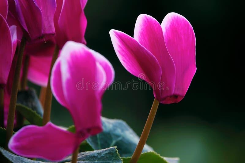 Cyclamen flower stock image