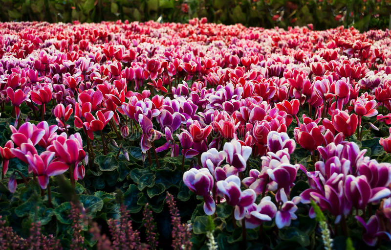 download cyclamen on flower market stock photo image