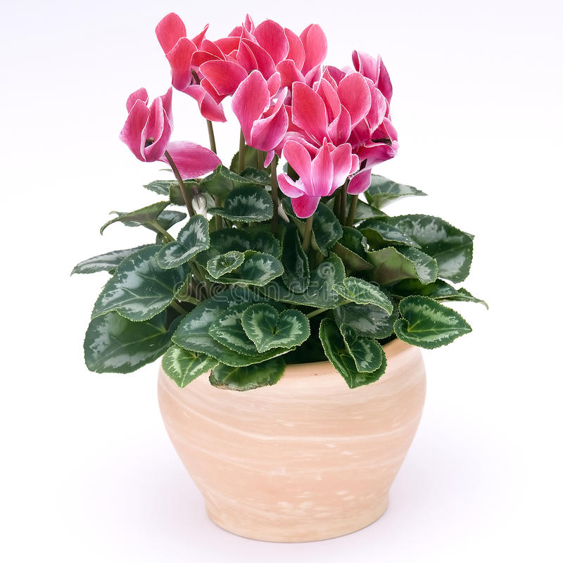 Cyclamen flowerpot stock photography