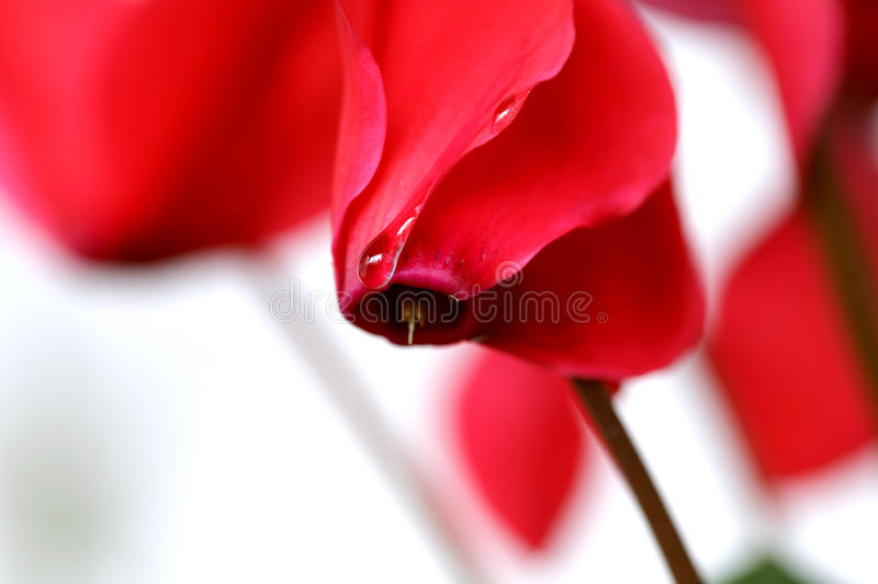 Download Cyclamen flowers stock photo. Image of beautiful, bloom - 14001838