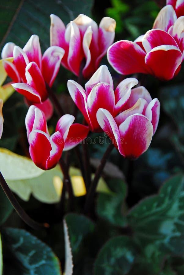 Download Cyclamen Flowers stock image. Image of flower, flora, cyclamen - 6337511