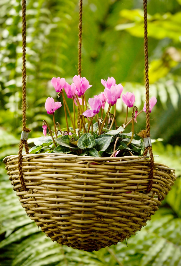 Cyclamen Korb stockbild