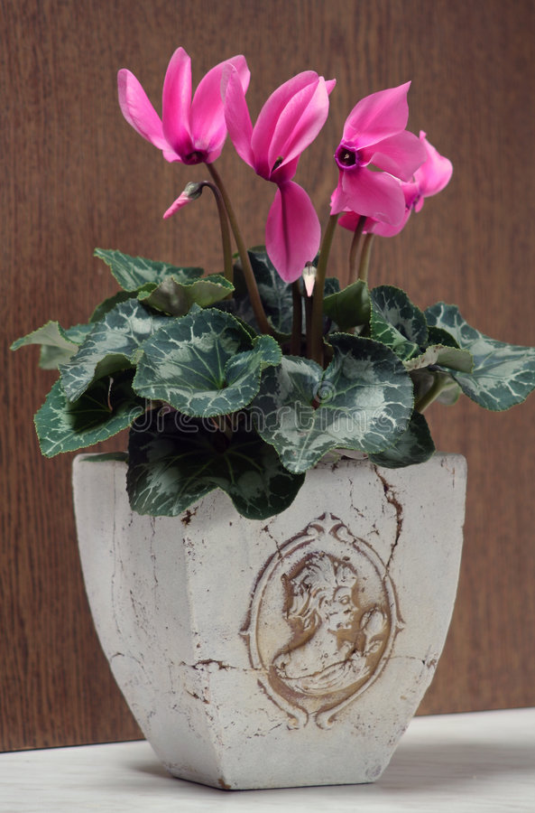 cyclamen persicum стоковое фото rf