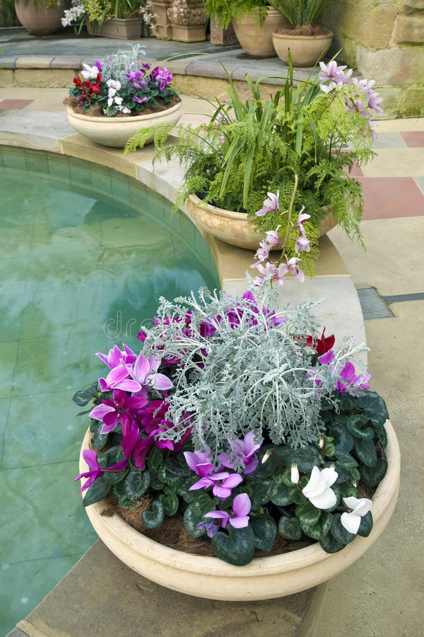 Download Cyclamen Pots Ferns And Pool Stock Photo - Image: 19260654