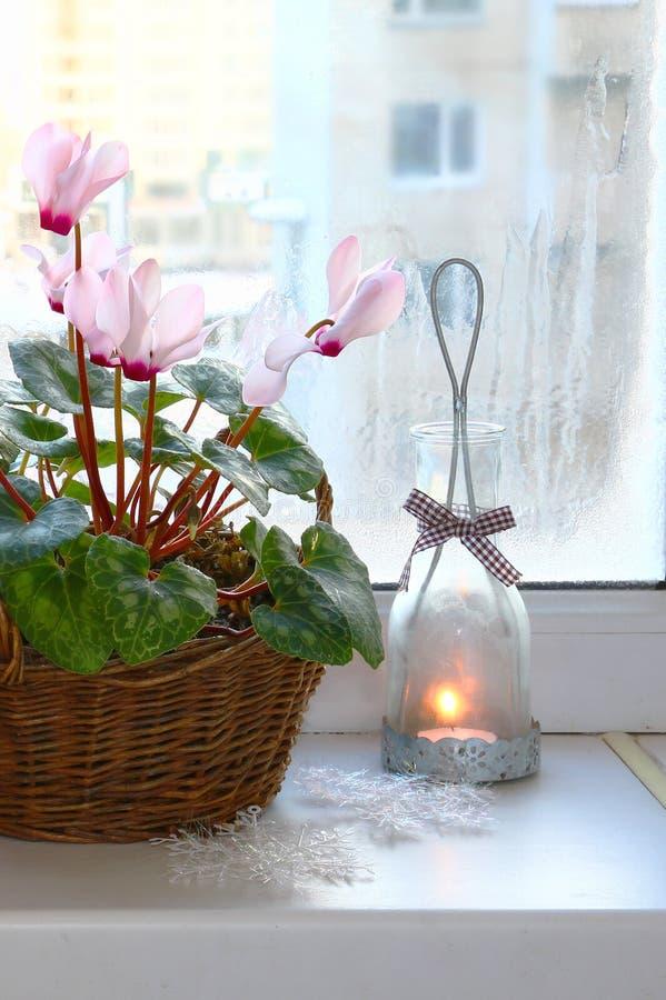 Cyclamen rose sur un hublot en hiver avec le chandelier de cru photographie stock
