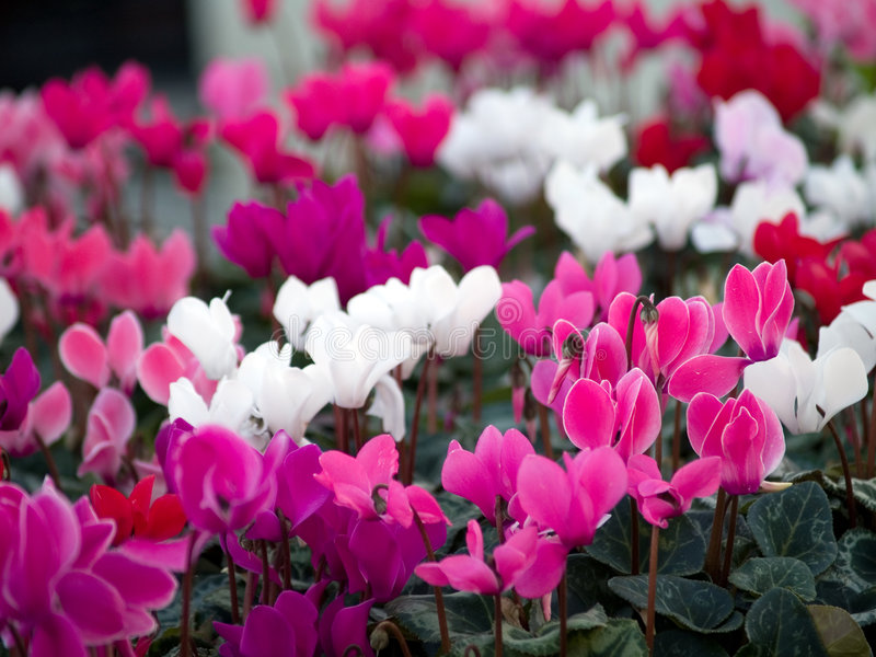 Cyclamens fotografia de stock royalty free