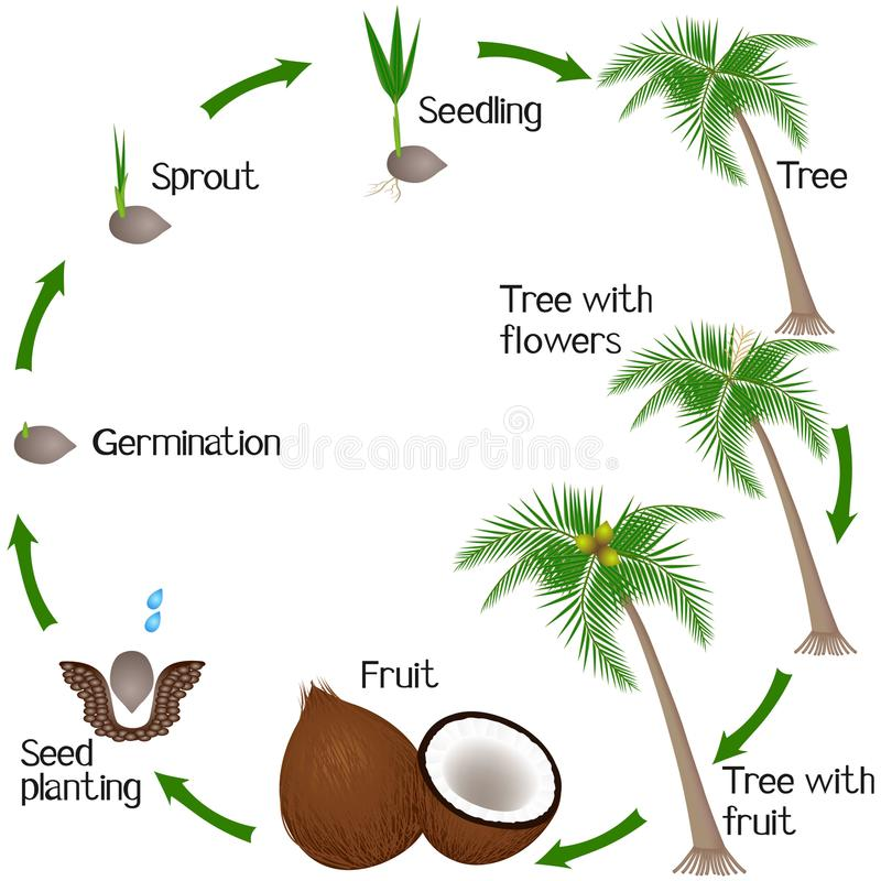 Cycle of a coconut plant growth isolated on white background. Cycle of a coconut plant growth isolated on white background, beautiful illustration vector illustration