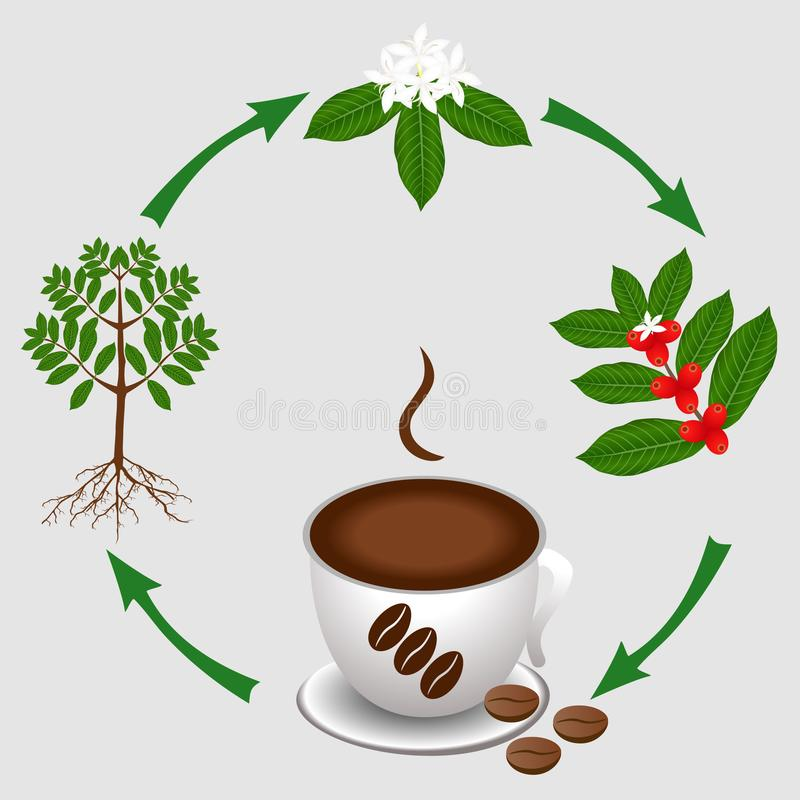 The cycle from the coffee plant to a cup of coffee. royalty free illustration
