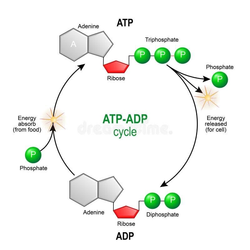 Cycle d'ADP de triphosphate d'adénosine Le triphosphate d'adénosine d'adénosine triphosphate est un chemica organique illustration libre de droits