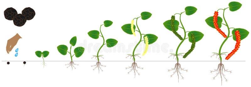 Cycle de croissance d'une usine d'un poivre noir d'isolement sur un fond blanc illustration libre de droits
