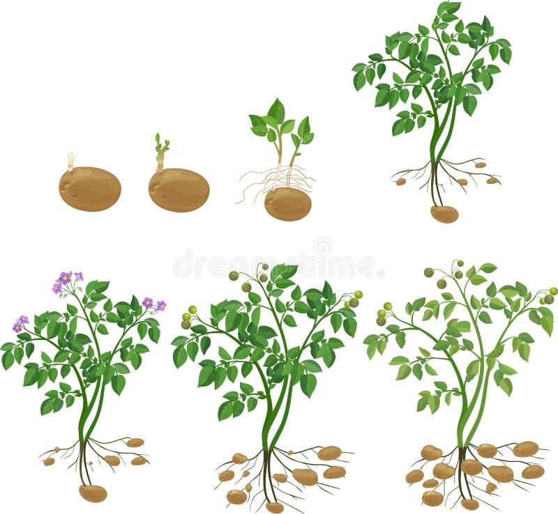 cycle de croissance de plante de pomme de terre illustration de vecteur illustration du. Black Bedroom Furniture Sets. Home Design Ideas