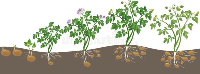 cycle de croissance de plante de pomme de terre illustration de vecteur image 72925840. Black Bedroom Furniture Sets. Home Design Ideas