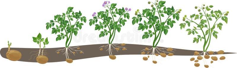 Cycle de croissance de plante de pomme de terre photos libres de droits