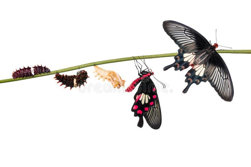 Cycle de vie commun de papillon d'aristolochiae de Rose Pachliopta image stock