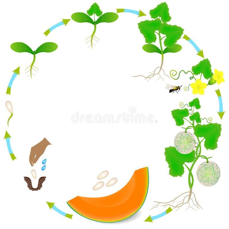 Cycle de vie d'une usine de melon de cantaloup sur un fond blanc illustration libre de droits