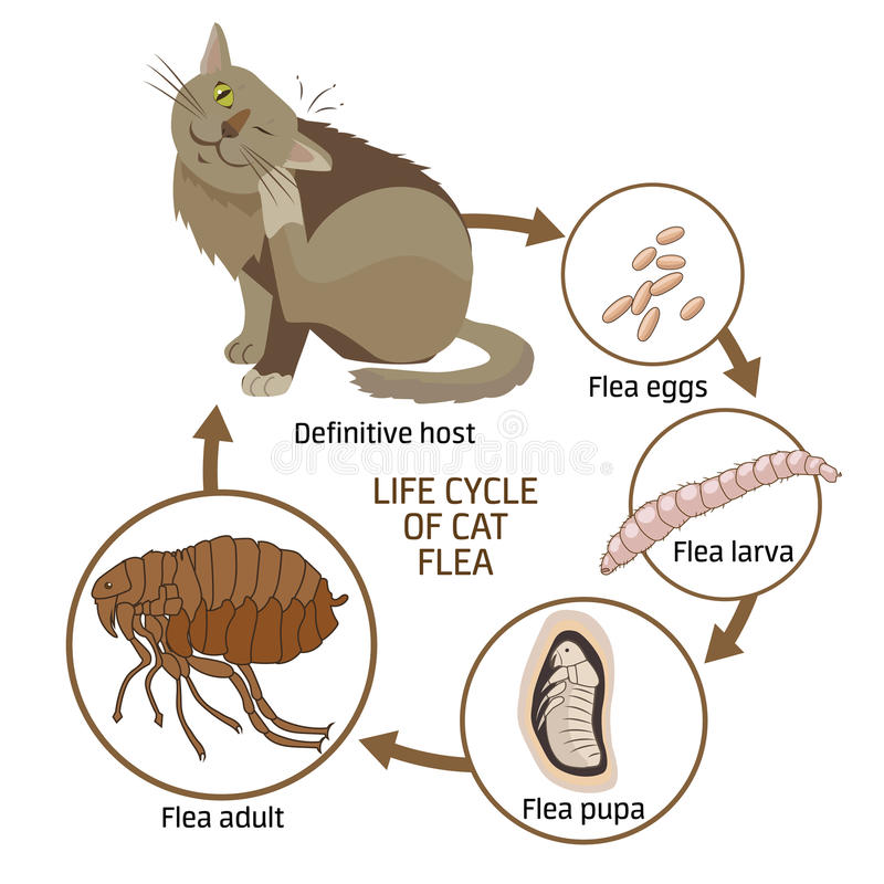 Cycle de vie de Cat Flea Vector Illustration La propagation de l'infection, les maladies illustration libre de droits