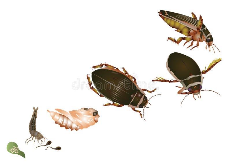Cycle de vie de grand scarabée de plongée illustration libre de droits