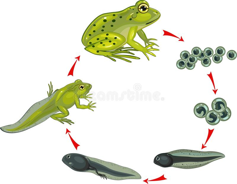 Cycle de vie de grenouille illustration stock