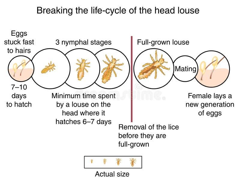 Cycle de vie de poux de tête illustration libre de droits