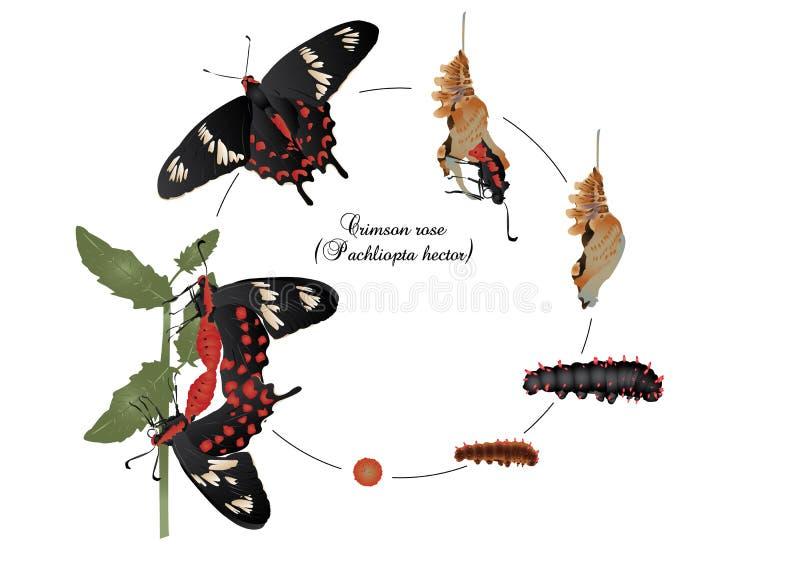 Cycle de vie de rose de cramoisi illustration de vecteur