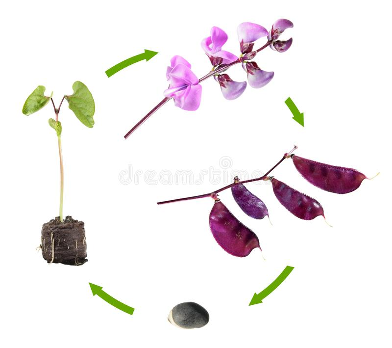 Cycle de vie de lablab d'égypte d'isolement sur le fond blanc Étapes de croissance d'usine de graine aux fleurs et aux fruits photographie stock
