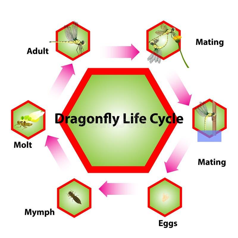 Cycle de vie de libellule, système de accouplement d'insecte illustration libre de droits